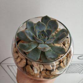 Флорариум с суккулентом №7